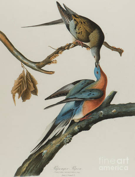 Audubon Painting - Passenger Pigeon by John James Audubon