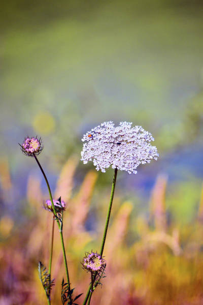 Wall Art - Photograph - Queen Anne's Lace by Bonnie Bruno