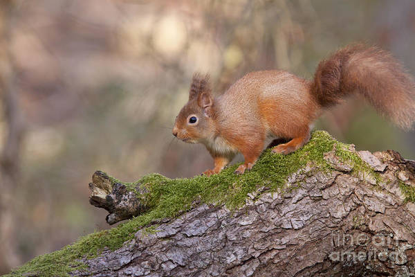Photograph - Red Squirrel - Scottish Highlands #9 by Karen Van Der Zijden