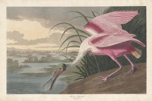 Painting - Roseate Spoonbill by John James Audubon
