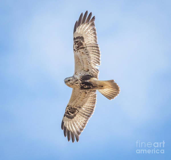 Photograph - Rough-legged Hawk by Ricky L Jones