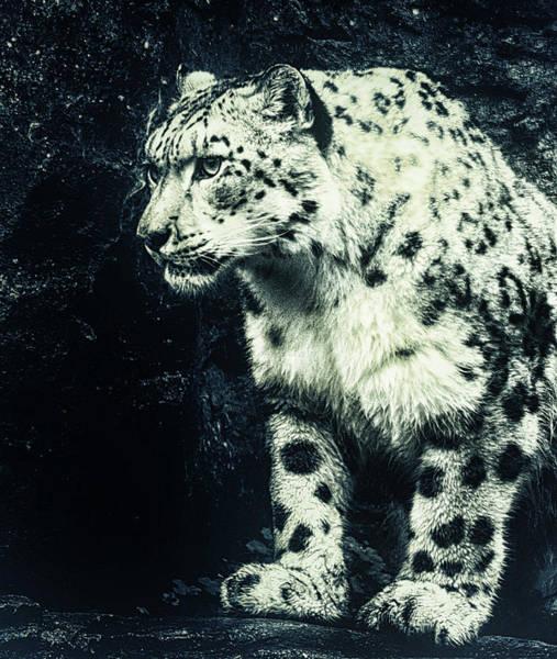 Snow Leopard Wall Art - Photograph - Snow Leopard by Martin Newman