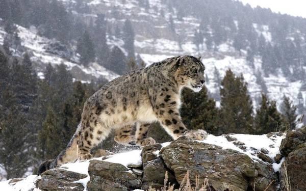 Animal Digital Art - Snow Leopard by Super Lovely
