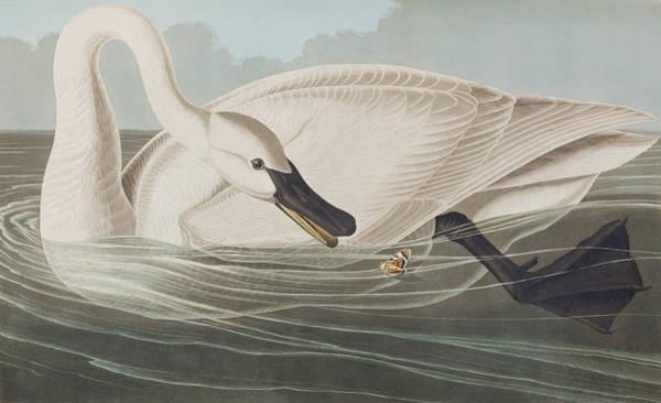 Trumpeter Swan Painting - Trumpeter Swan  by John James Audubon