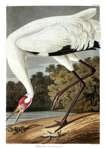 North American Wildlife Wall Art - Painting - Whooping Crane by John James Audubon