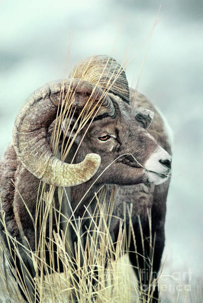 Photograph - 678508530 Bighorn Sheep Ovis Canadensis Wild Wyoming by Dave Welling