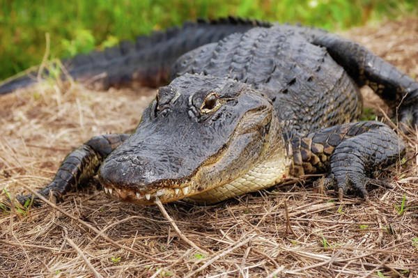 Wall Art - Photograph - American Alligator by Rich Leighton
