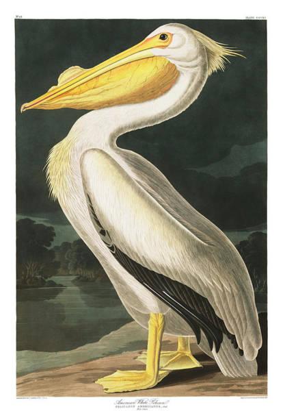 American White Pelican Wall Art - Painting - American White Pelican by John James Audubon