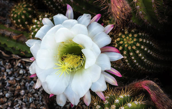 Wall Art - Photograph - Argentine Giant Cactus by Jon Berghoff