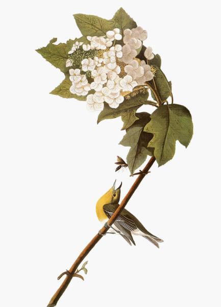 Photograph - Audubon: Warbler, 1827-38 by Granger