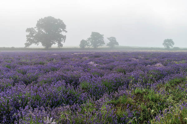 Lavender Mist Wall Art - Photograph - Beautiful Dramatic Misty Sunrise Landscape Over Lavender Field I by Matthew Gibson