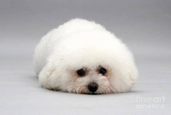 Pup Photograph - Bichon Frise by Jane Burton
