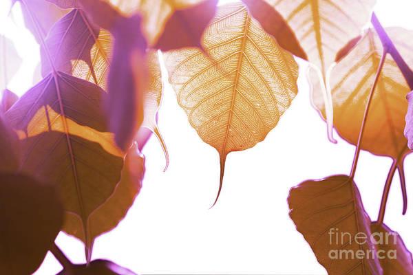 Wall Art - Photograph - Bodhi Leaves by Atiketta Sangasaeng