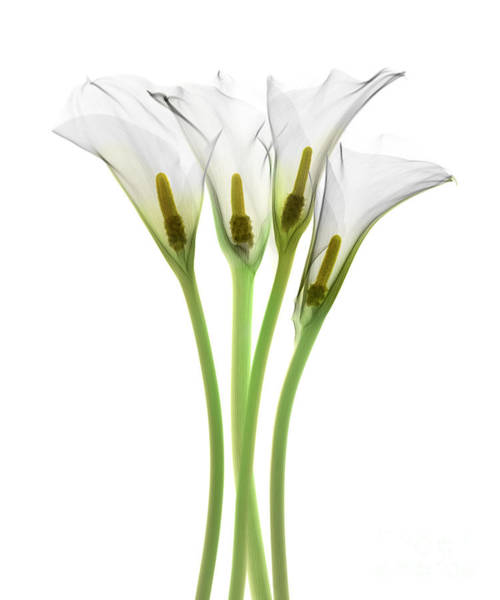 Photograph - Calla Lily, X-ray by Ted Kinsman