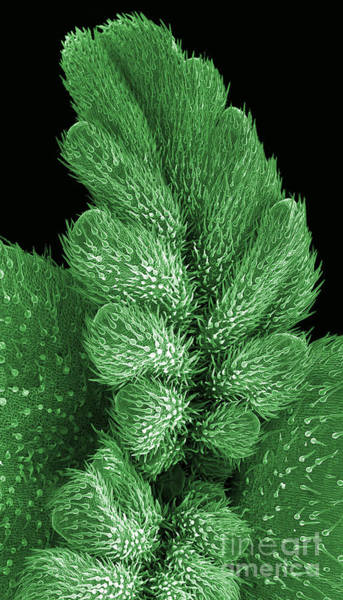 Photograph - Cannabis Seedling,  Sem by Ted Kinsman
