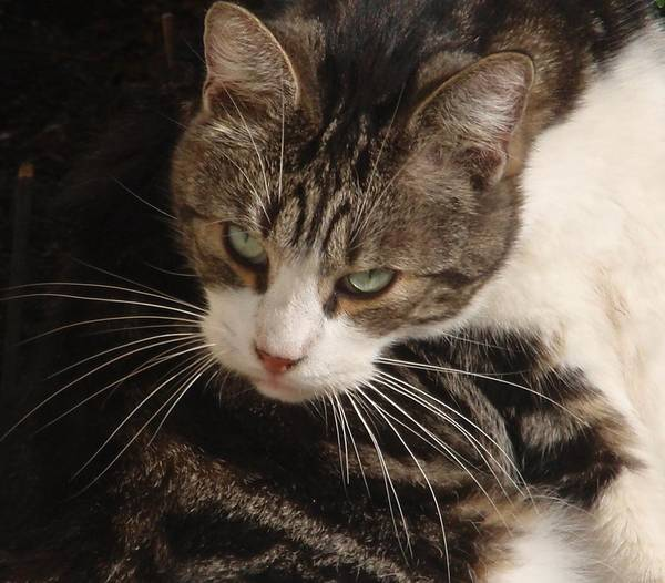 Wall Art - Photograph - Cat Portrait by Valia Bradshaw