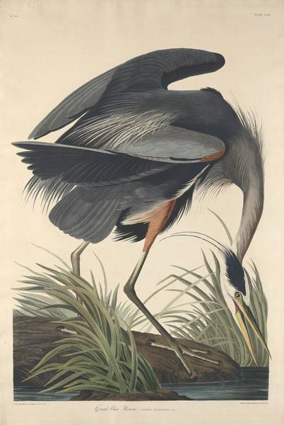 Wall Art - Drawing - Great Blue Heron by Dreyer Wildlife Print Collections