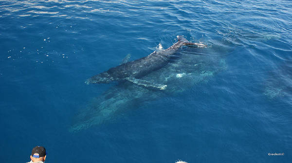 Encounter Bay Photograph - Humpback Whales Mother And Calf Image 1 Of 1 by Gary Crockett