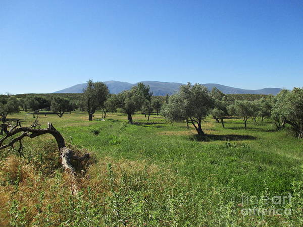 Photograph - Olive Trees Near Lanjaron by Chani Demuijlder