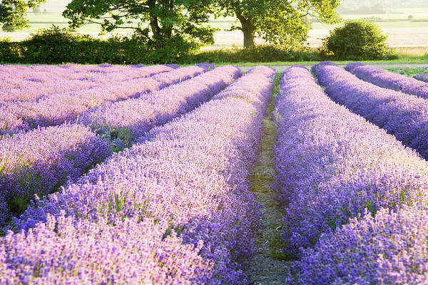 Wall Art - Photograph - Lavender Fields by Ian Middleton