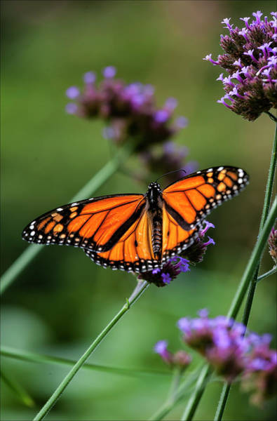 Monarch Butterfly Art Print by Robert Ullmann