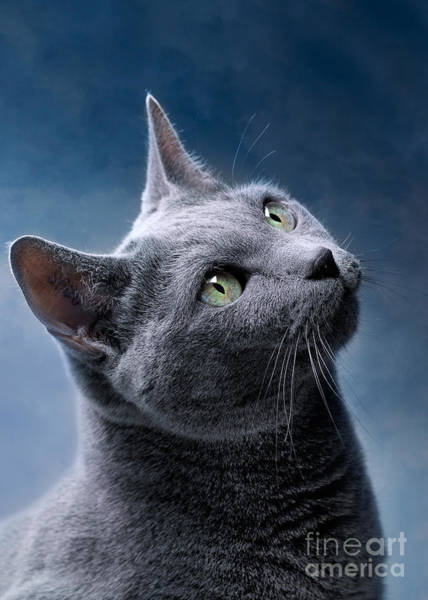 Asian Wall Art - Photograph - Russian Blue Cat by Nailia Schwarz