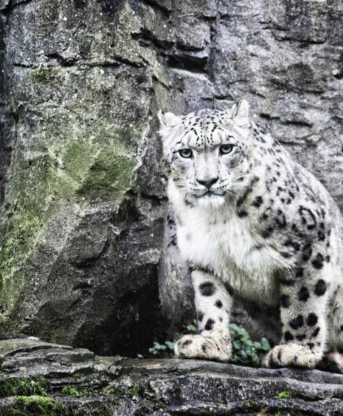 Leopard Photograph - Snow Leopard by Martin Newman