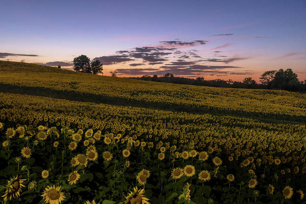 Photograph - Sunflower Sunset by Ryan Heffron