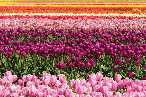 Photograph - Tulip by Sherri Keene