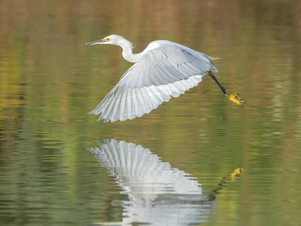 Photograph - Snowy Egret by Tam Ryan