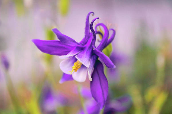 Wall Art - Photograph - Spring Magic Columbine by Jessica Jenney