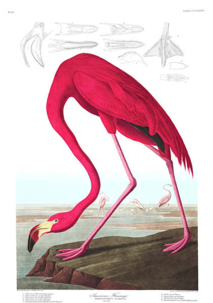 Wall Art - Painting - American Flamingo by John James Audubon