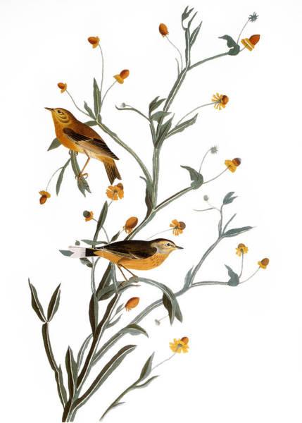 Wall Art - Photograph - Audubon: Warbler, (1827-38) by Granger