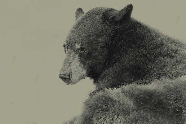 Photograph - Black Bear  by Brian Cross