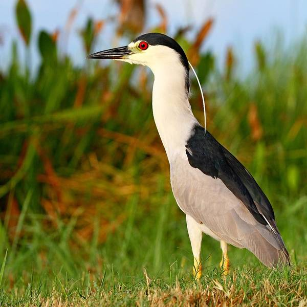 Photograph - Black Crowned Night Heron by Ira Runyan