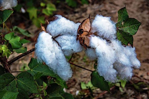 Photograph - 8 Bolls Of Cotton  by John Harding