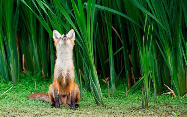 Animal Digital Art - Fox by Super Lovely