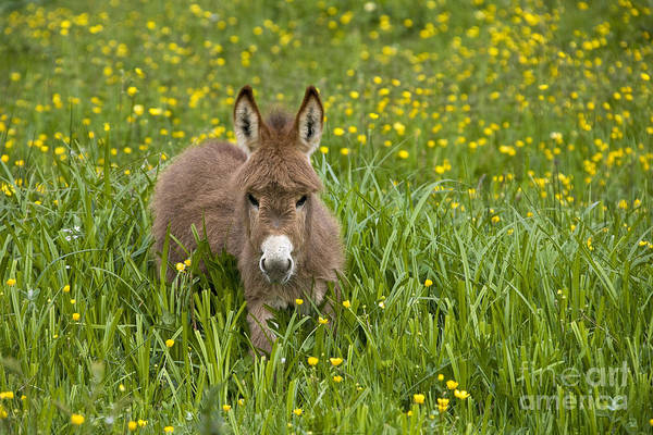 Equus Africanus Photograph - Miniature Donkey Foal by Jean-Louis Klein & Marie-Luce Hubert