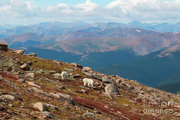 Photograph - Mountain Goats On Mount Bierstadt by Steve Krull