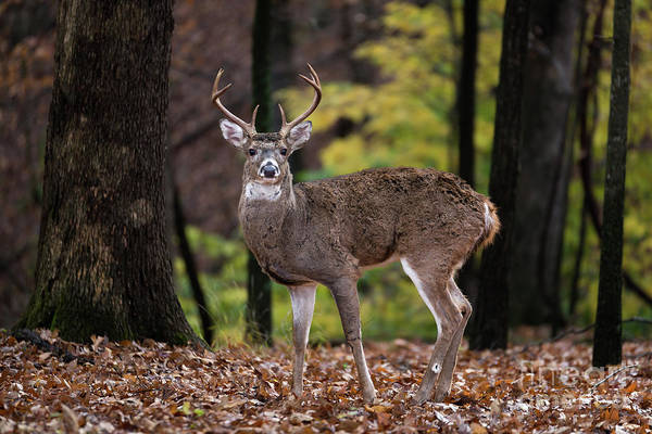 Photograph - 8 Point Buck by Andrea Silies