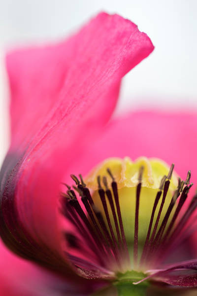 Photograph - Poppy by Raelene Goddard