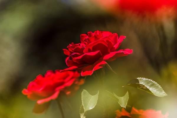 Nature Digital Art - Rose by Super Lovely