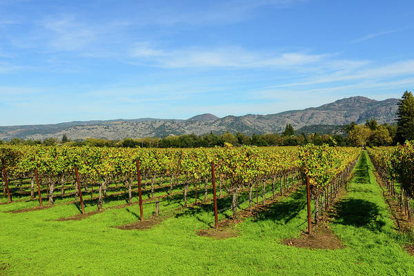 Photograph - Rows Of Grapevines In Napa Valley California by Brandon Bourdages