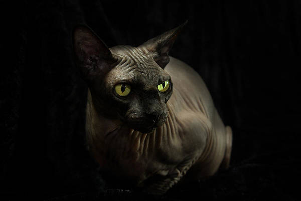 Photograph - Sphynx Cat Portrait by Glenda Wright