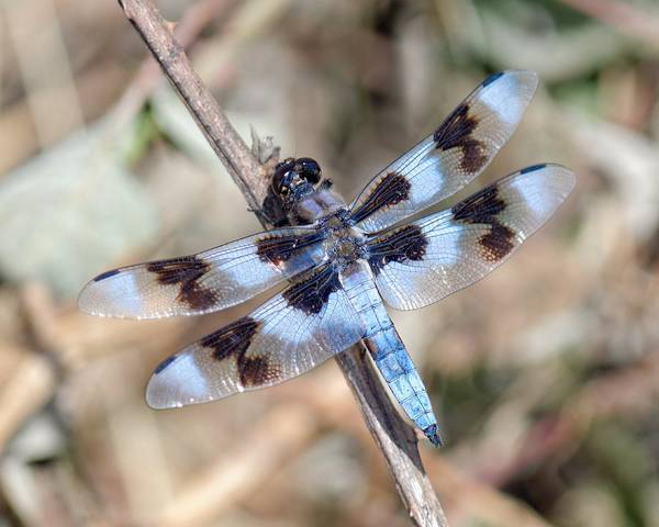 Photograph - 8-spotted Skimmer by KJ Swan