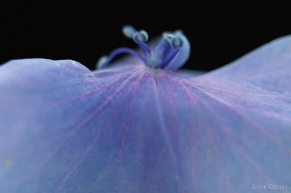 Wall Art - Photograph - Hydrangea Petal by Anne Geddes