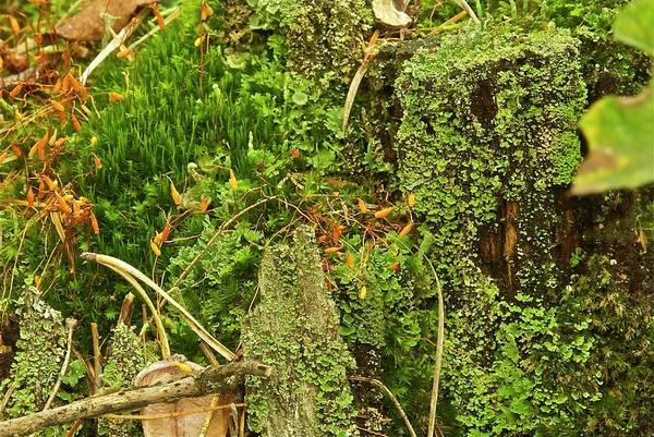 Liverwort Photograph - Mosses And Liverworts 8861 by Michael Peychich