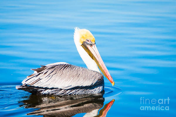 Photograph - Pelican Blue by Michael McStamp