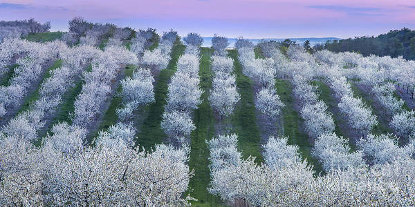 Up North Wall Art - Photograph - Cherry Blossoms In Traverse City by Twenty Two North Photography