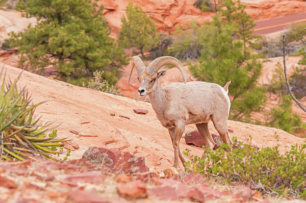 Wall Art - Photograph - Desert Bighorn Ram by Rich Leighton